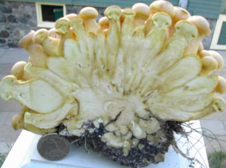 Mystery Mushroom sliced in half